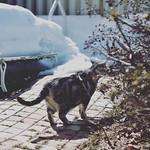 早く春にならないかな(ノ*ФωФ)ノ #catstagram #にゃんすたぐらむ#にゃんだふるらいふ #bestmeow #meowbox #nikond5500 #北海道#雪#お散歩#アメショ#桃と栗と銀ファミリー#銀ちゃん(ノ*ФωФ)ノ