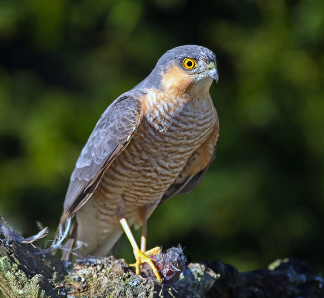 Male Eurasian Sparrowhawk  (  Accipiter nisus ) - The pocket rocket !!