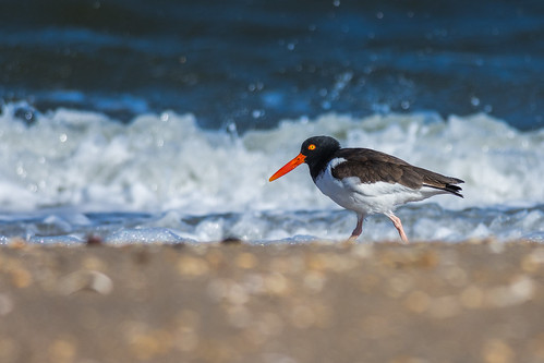 shorebird beach ocean oystercatcher americanoystercatcher bird wildlife water sandyhook nature forthancock highlands newjersey unitedstates us nikon d7200