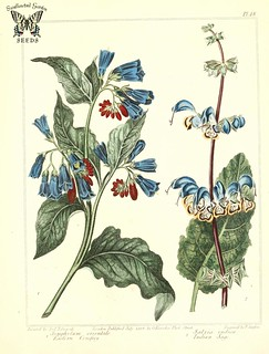 Eastern comfrey (Symphitum orientale), and Indian sage. (Salvia indica). The new botanic garden (1812) | by Swallowtail Garden Seeds