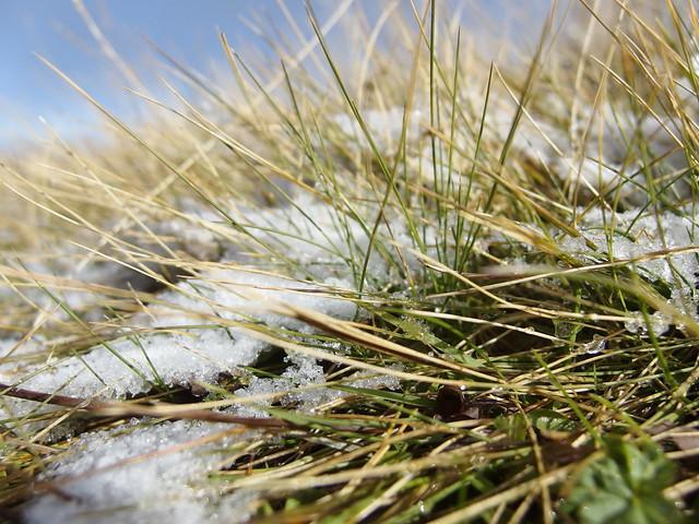 Grasses Grass Snow Schnee Natur Nature Autumn Herbst (c)