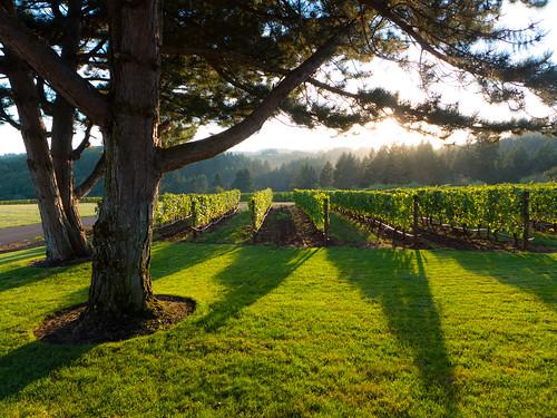 sunset oregon landscape vineyard shadows grapevines archerysummit willamettevalley redhillsvineyard dundeehillsviticulturearea
