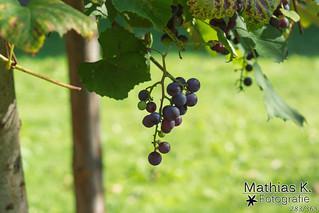 Weintrauben | Projekt 365 | Tag 283