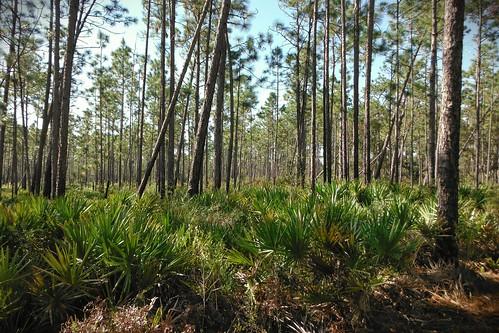 trees pine forest woods florida trail palmettos ilobsterit
