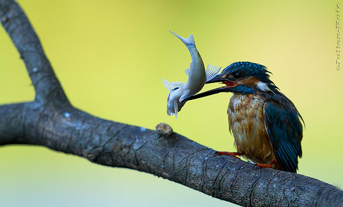 Martin-pêcheur d'Europe Alcedo atthis  Common Kingfisher | by Julien Ruiz