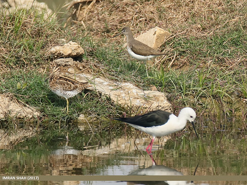 Common Snipe (Gallinago gallinago), Green Sandpiper (Tringa ochropus) & Black-winged Stilt (Himantopus himantopus) | by gilgit2
