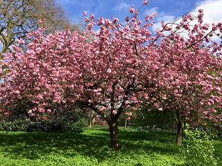 Regent's Park cherry blossom 2017 | by Fran Pickering