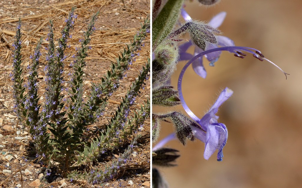 Vinegar Weed (Trichostema lanceolatum, Lamiaceae) - strong… | Flickr