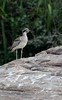 Great thick-knee by string_bass_dave