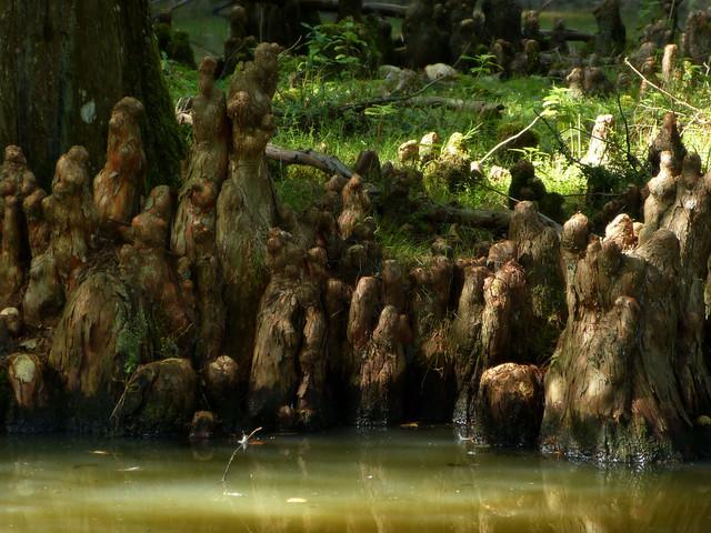 Cyprès chauve (racines)