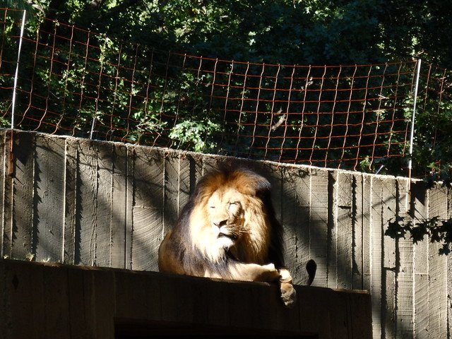 Lion, the National Zoo