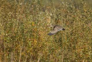 Northern Pintail (Anas acuta) | by _alcedo_