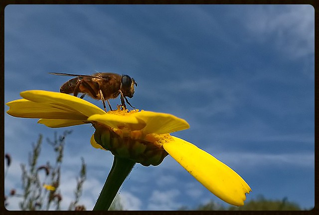 bee on a big yellow flower