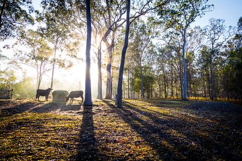trees sun fog sunrise cattle cows farm backlit