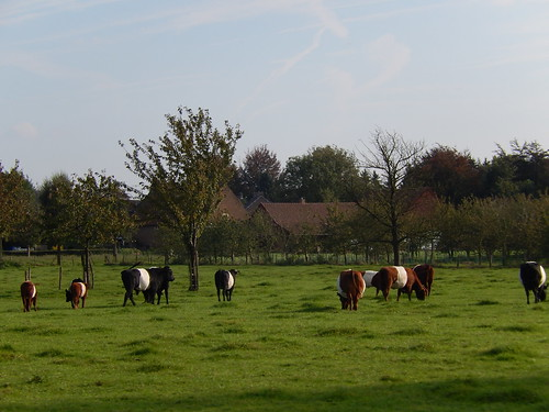 Gulpen - koeien
