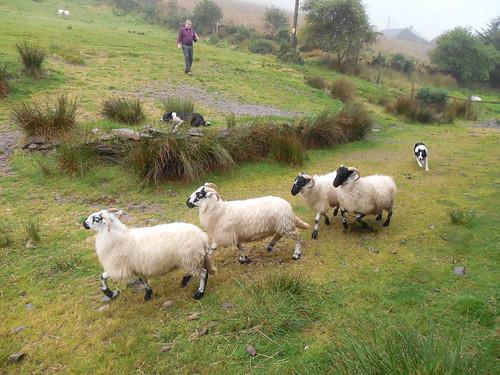 Sheepdog Demonstration - Ring of Kerry - Kells, Ireland | by Dougtone