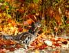 Ruffed Grouse 50  (Bonasa umbellus) by egdc211