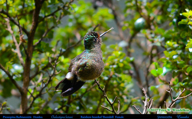FORKED TONGUE • RAINBOW-BEARDED THORNBILL Female Chalcostigma herrani Posing at the Yanacocha Reserve in ECUADOR. Hummingbird Photo by Peter Wendelken.