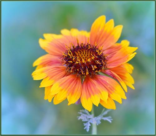 flower flowers wildflowers macro closeup bokeh creamybokeh sigma105 multicolor orange yellow