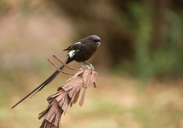 Magpie shrike, Corvinella melanoleuca, (Long-tailed Shrike), Bucklands Farm, Turk Mine, Matabeleland, Zimbabwe