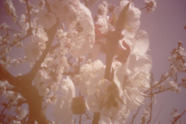 Pinholes apricot flowers