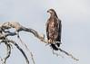 White-tailed Eagle (immature) by tickspics 