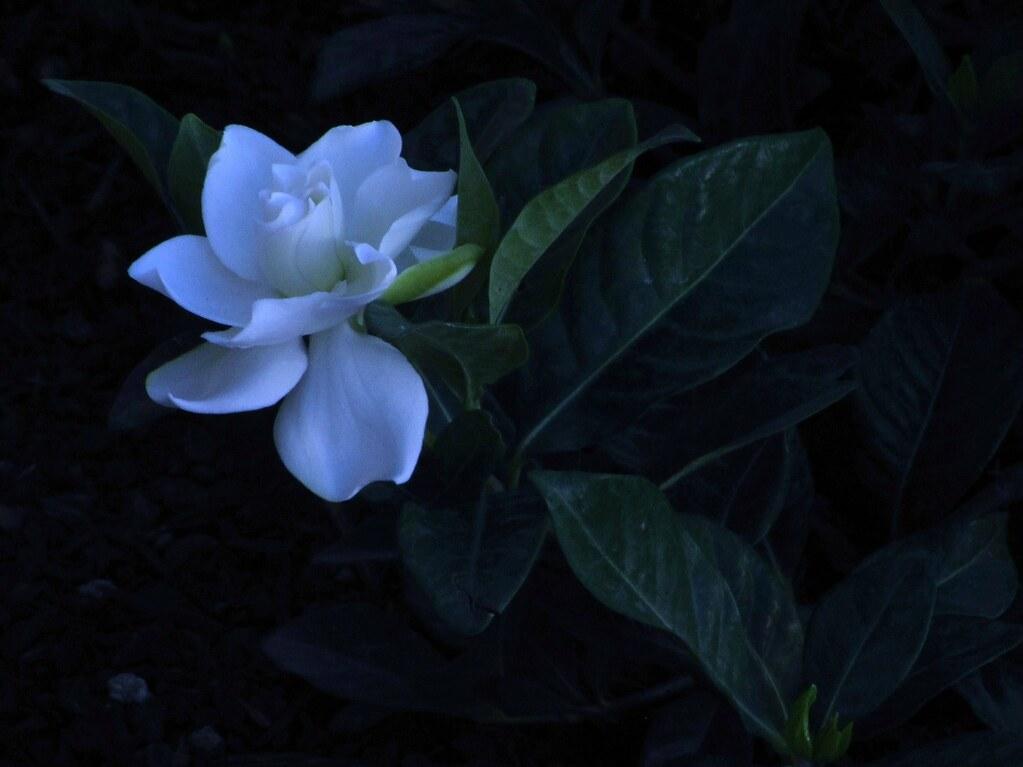 Gardenia jasminoides \u0027Veitchii\u0027 (Explored Oct. 2 2014)