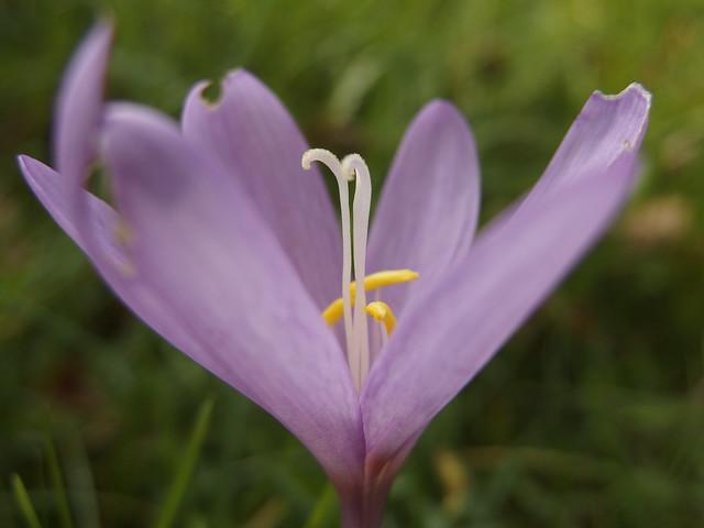 Autumn Crocus, Meadow Saffron, Herbstzeitlose, Meadow, Wiese (c)