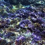 Purple Corals