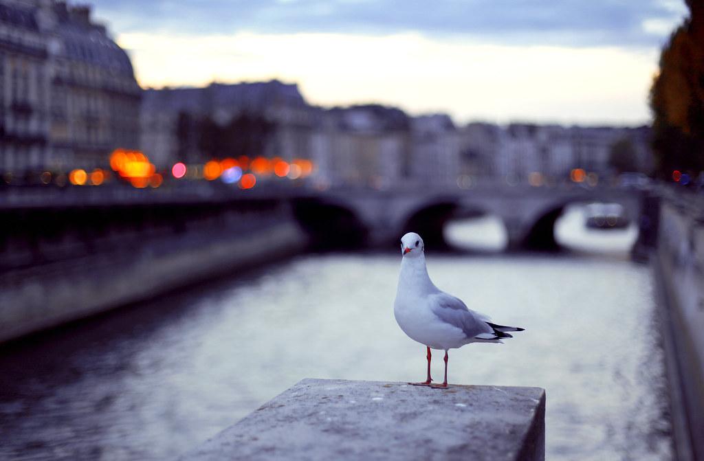 {133-365} Parisian seagul at twilight; October06