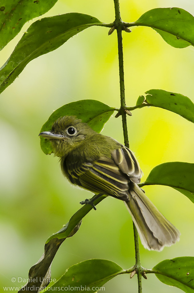 Olivaceous Flatbill / Rhynchocyclus olivaceus / Picoplano Oliváceo