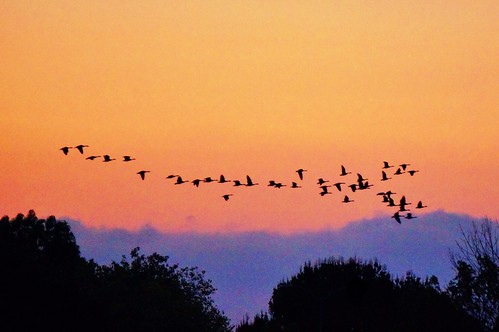 california sunset birds silhouette geese losangeles wildlife flock sanfernandovalley sepulvedabasin