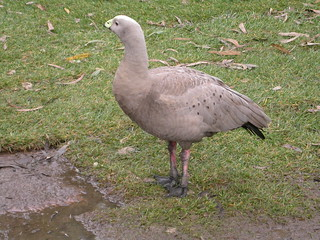 08 Cleland Conservation Park - Cape Barren goose