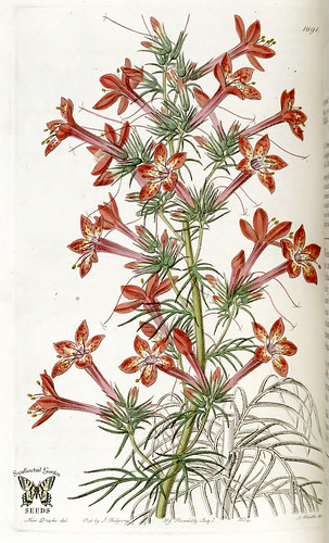 Scarlet Gilia. Gilia coronopifolia. Edwards's Botanical Register, vol. 20 (1835) [S.A. Drake]