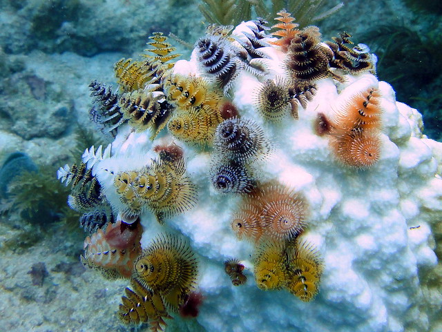 Christmas Tree Worms on Bleached Coral Head, French Reef, Key largo