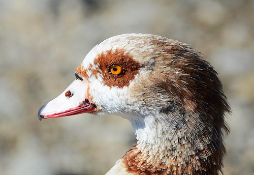 Egyptian Goose, head-shot | by birding4ever