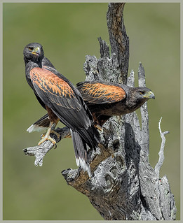 2017 IMAGE of the YEAR - Harris Hawks on Alert - by Marcia Nye   by Nature Camera Club