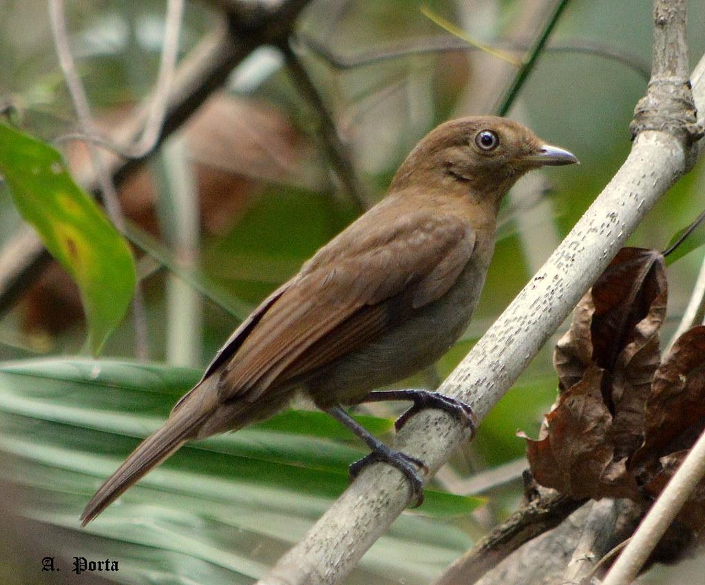 Silbador Paraulata (Shiffornis turdinus) (Trush-like Schiffornis)