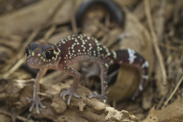 Thick Tailed Gecko - Underwoodisaurus milii