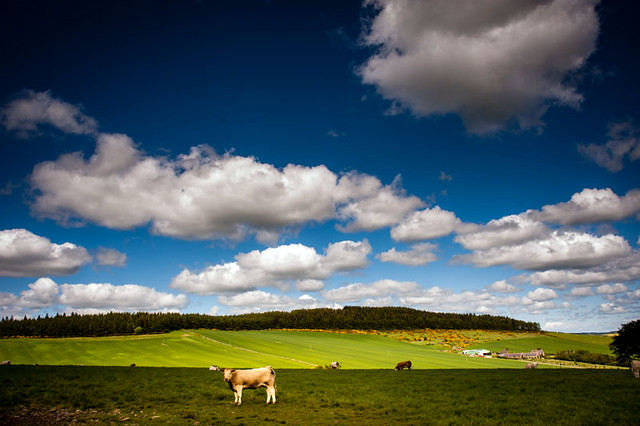 cow in the sun