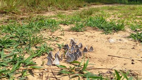 flying flock butterflies karnerblue explored