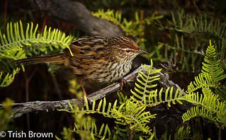 Fernbird | by Trish Brown