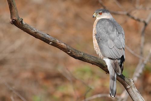 Coopers Hawk | by Derek Mickeloff