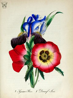 Dwarf Iris (Iris pumila) and Syrian rose (Hibiscus rosea).  Striking in their contrast of color and form, iris and hibiscus both thrive in sunny areas and moist soil.  The American flora vol. 3 (1855)