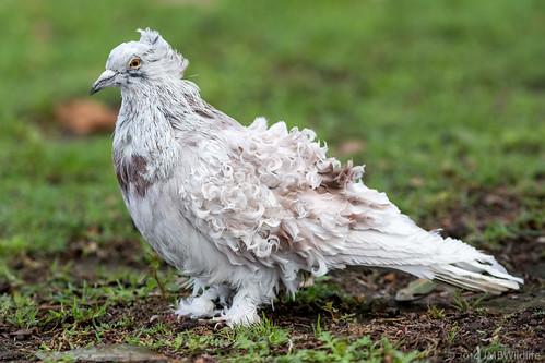 Frillback Pigeon (Thanks Roger)