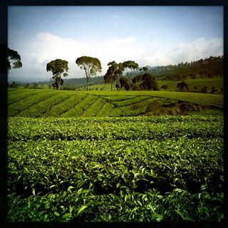 Tea Plantation | by Dagmarita Smulewicz www.uwolnijsiebie.pl