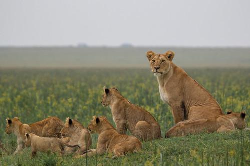 kenya lion gettyimages masaimara 2013 maasaimaranationalreserve kicheche themara olareorokconservancy kichechebushcamp themarshpride olaremotorogiconservancy