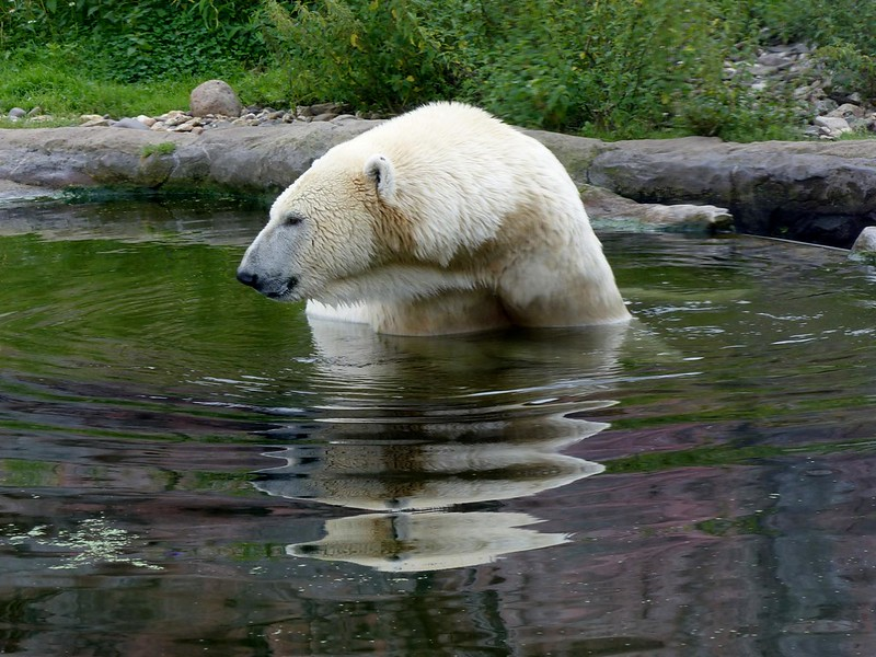 Polar Bear LARA,  explore 2014-10-01 (backdated)