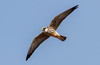 Red-Footed Falcon by Cyprus Bird Watching Tours - BIRD is the WORD
