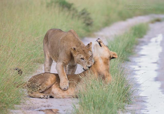Lions - Male- Panthera Leo -  Image 2 of 8